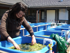 Intern Sea-oh McConville shows her tank experiments investigating the interactions between macroalgae and eelgrass