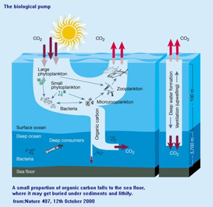 Image of cartoon showing process of biological pump with Carbon dioxide entering ocean from atmosphere and being processed either back out to atmosphere or down into depths via planktonic and bacterial processes.