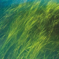 A healthy eelgrass bed.